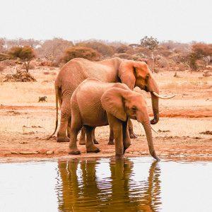 Tsavo East National Park - Dust-Red Elephants